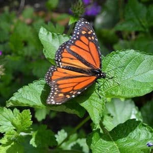 Butterflys_of_The_Lowcountry